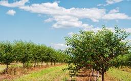 Free Cherry Tree Stock Image - 10354971
