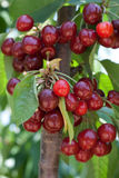 Cherry tree. Full of sweet appetising red fruits royalty free stock photos