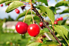 Cherry-tree. Imagem de Stock Royalty Free