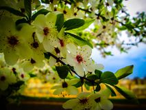 Cherry Tree Foto de archivo