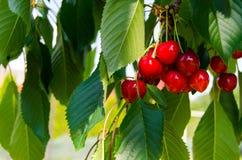 Cherry Tree imágenes de archivo libres de regalías