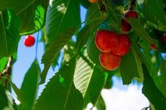 Cherry Tree imagen de archivo