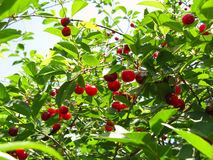 Cherry-tree Stock Photography