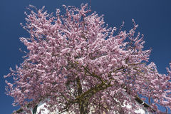 Cherry tree Royalty Free Stock Image