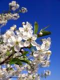Cherry-tree Imagem de Stock
