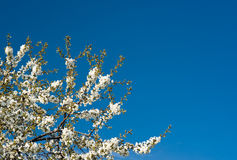 Cherry tree Royalty Free Stock Photos
