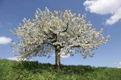 Cherry tree. With blossoms on a meadow with a blue sky an clouds Stock Photo