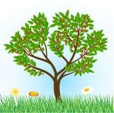Cherry tree Stock Image