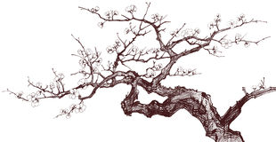 Cherry Tree. Vector illustration of a Blossoming Cherry Tree (inked drawing Stock Photo