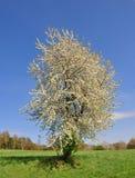 Cherry tree Stock Photos
