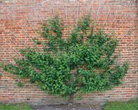 Cherry Tree. Royalty Free Stock Image
