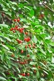 Cherry on a tree Royalty Free Stock Photo