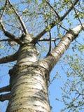 Cherry-tree Стоковая Фотография