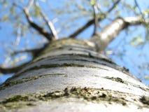 Cherry-tree Стоковые Фотографии RF