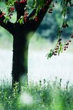Cherry tree. On a noon summer breeze. Red cherry fruits - contrast with green leafs and grass. Shallow depht of field accents sharpness of tree's fruit stock images