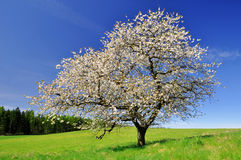Cherry tree. Blooming cherry tree in Czech republic Stock Photo
