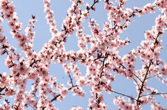 Cherry Tree Fotografia Stock