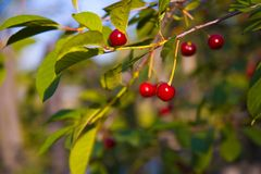 Cherry-Tree Fotos de Stock Royalty Free
