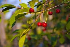 Cherry-Tree Royalty Free Stock Photos