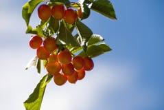 Cherry Tree Fotografia Stock Libera da Diritti