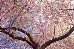 Cherry Tree Royalty-vrije Stock Afbeeldingen