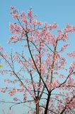 A cherry tree. Full of cherry blossoms Royalty Free Stock Photos