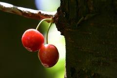 Cherry tree. Ripe cherries hanging invitinglyfrom tree trunk Stock Photo