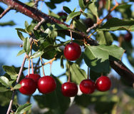 Cherry tree Royalty Free Stock Photos
