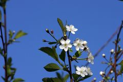 Cherry-tree. Blossom on blue sky background Royalty Free Stock Images