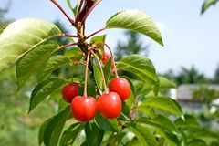 Cherry-tree. Imagens de Stock