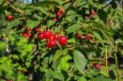 Cherry Tree Foto de archivo libre de regalías