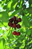 Cherry Tree Stock Afbeelding