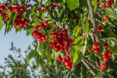 Cherry Tree Stockfotos