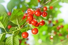 Cherry Tree Fotografia Stock