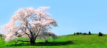Cherry Tree. Illustration of a single old cherry tree in bloom Royalty Free Stock Images