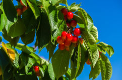 Cherry Tree Stockbilder