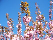 Cherry Tree Imagen de archivo libre de regalías