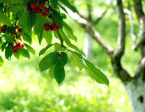 Cherry tree. Branch loaded with cherries royalty free stock photos