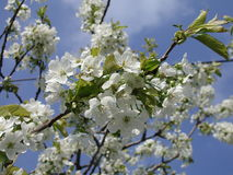 Cherry tree. In bloom royalty free stock photo