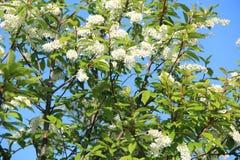 Cherry Tree Royalty-vrije Stock Afbeelding