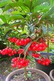 Cherry Tree Stock Afbeeldingen