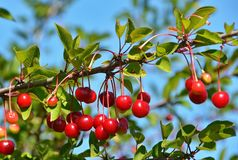 Cherry Tree Image stock