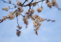 Cherry Tree Photographie stock libre de droits
