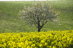 Cherry Tree. Blossomy cherry tree in a field of yellow flowers, in spring stock photography