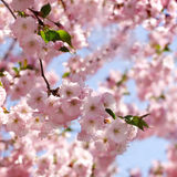 Cherry tree. Cherry blossom stock photos
