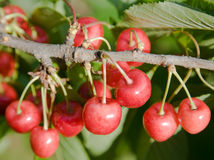 Cherry on the tree Royalty Free Stock Image