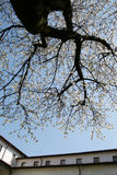 Cherry tree. In an ancient cloister Stock Photography