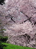 Cherry Tree. Flowering Cherry Tree in Spring royalty free stock photo