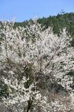 Cherry Tree Lizenzfreie Stockfotografie