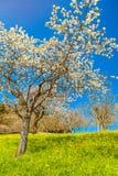 Cherry Tree Immagine Stock Libera da Diritti